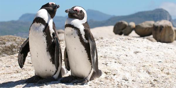 Pingüinos en Boulders Beach